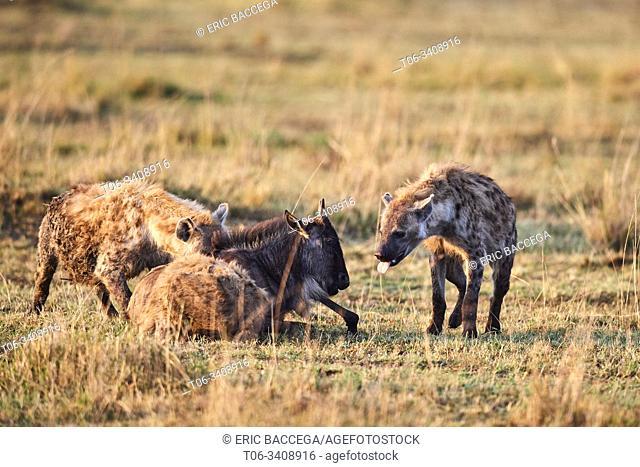 Spotted hyena (Crocuta crocuta) killing a young Eastern White-bearded Wildebeest (Connochaetes taurinus) Masai Mara National Reserve, Kenya