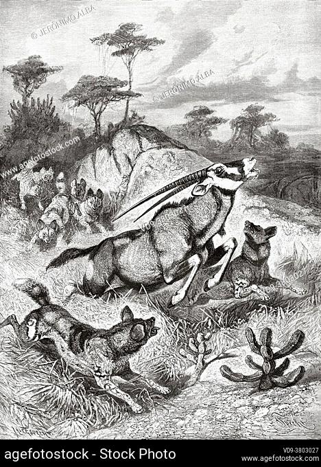 Spotted Hyenas (Crocuta crocuta) hunting an oryx. Old 19th century engraved illustration from El Mundo Ilustrado 1879