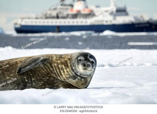Crabeater seal on an iceberg with the Sea Adventurer cruise ship in the background