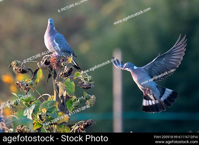 18 September 2020, Baden-Wuerttemberg, Stuttgart: A marsh dove sits on a faded sunflower while another dove tries to land there