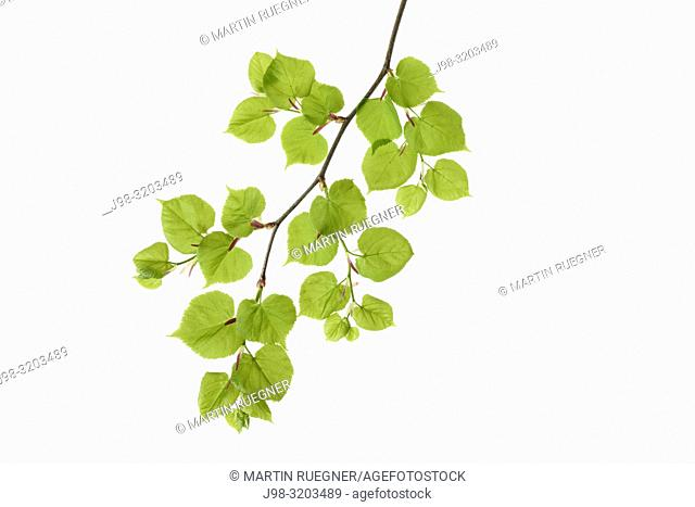 Lime tree (Tilia spec. ) leaves against white background. Bavaria, Germany, Studio Shot