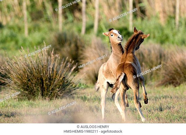 France, Camargue, Camargue horse (Equus caballus), foal