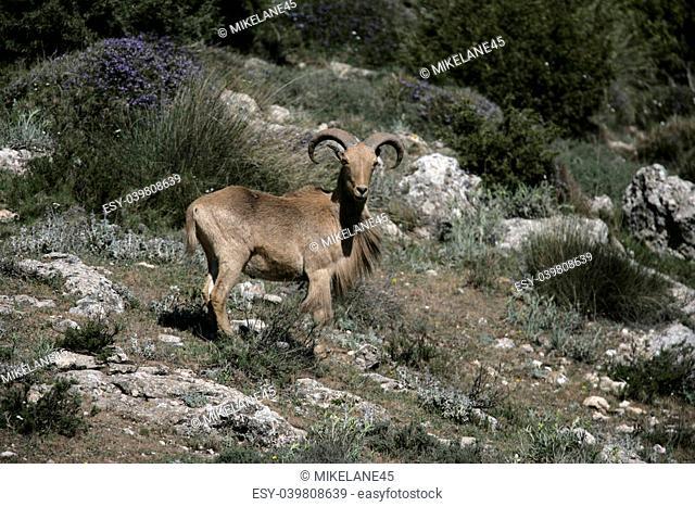 Barbary sheep or Mouflon, Ammotragus lervia, single animal standing on grass, Espuna National Park, Spain
