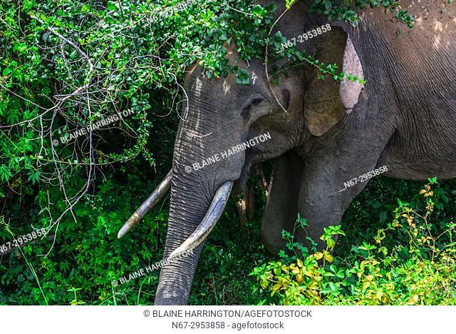 Elephant with tusks, Yala National Park, Southern Province, Sri Lanka