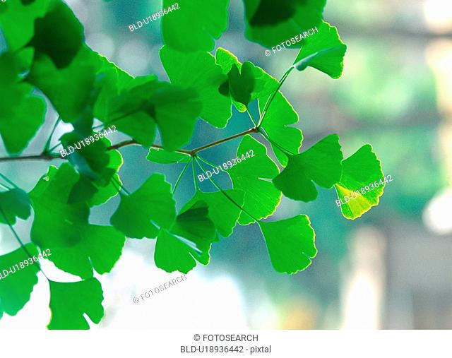 leaves, plant, ginkgo, tree, film