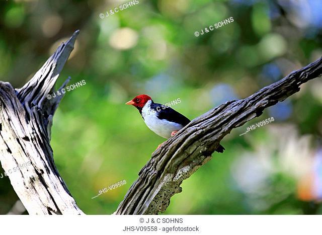 Yellow-Billed Cardinal, (Paroaria capitata), adult on branch, Pantanal, Mato Grosso, Brazil, South America