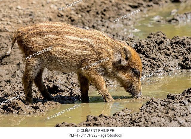 Wild boar (Sus scrofa) piglet foraging in the mud in spring