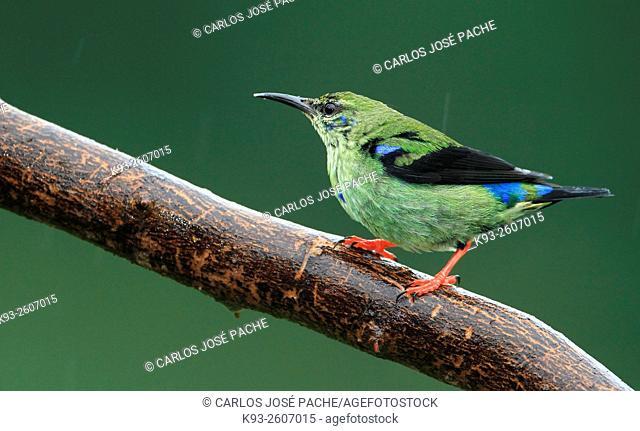 Mielero Patirrojo (Cyanerpes cyaneus) macho, Costa Rica