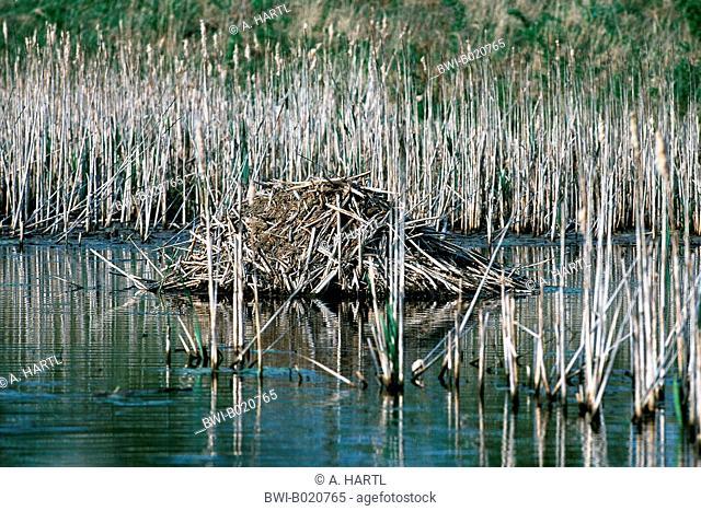 muskrat (Ondatra zibethica), muskrat lodge, Germany