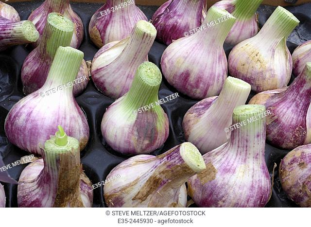 Violet garlic for sale at a French street market