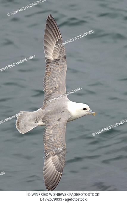 Fulmar (Fulmarus glacialis) in flight. North Coast of Snaefellsnes. Iceland