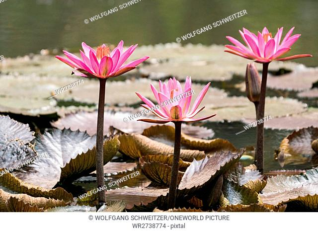 Indonesia, Java Barat, Kota Bandung, water lilies in the park, park, water lily