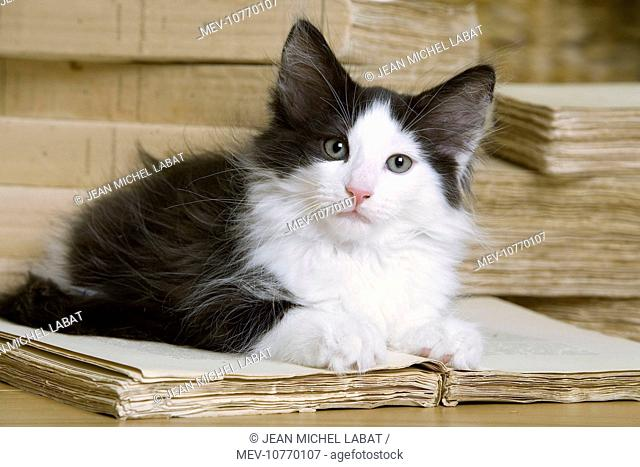 Norwegian Forest Silver and White Mackerel Tabby Cat with book
