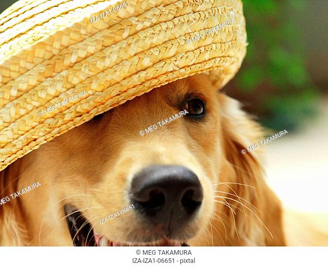 Close-up of a golden retriever dog wearing straw hat