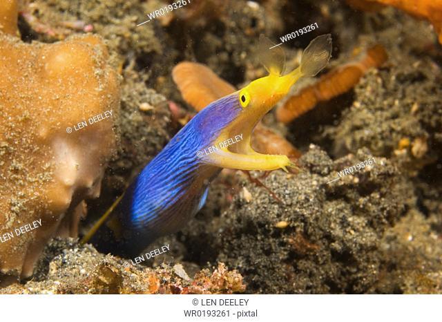 Ribbon Eel Rhinomuraena quaesita, female, Lembeh Strait, Indonesia, 2-4-06