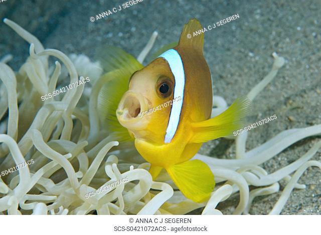 Juvenile Red Sea anemonefish Amphiprion bicinctus Na'ama Bay, Sharm el Sheikh, South Sinai, Red Sea, Egypt