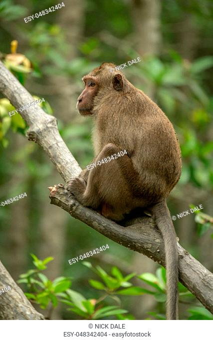 Long-tailed macaque sits on branch among leaves