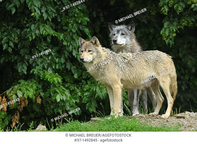 Timber wolves (Canis lupus). Image taken in a game park in Germany