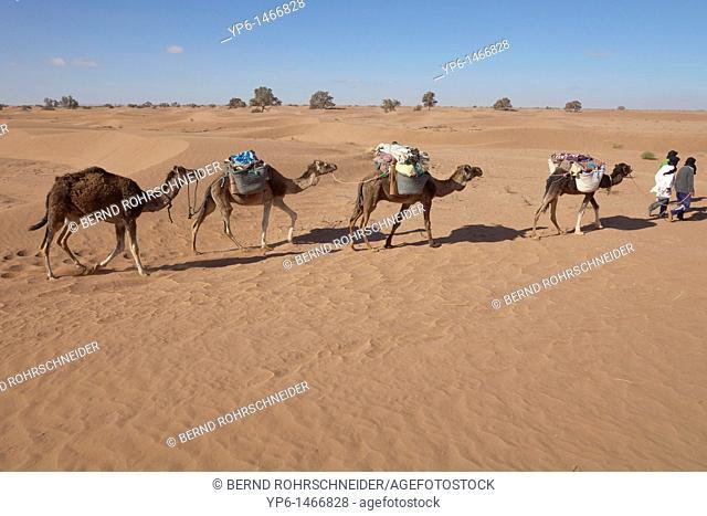 Berber with 4 Dromedaries Camelus dromedarius going through the desert, Sahara, Morocco