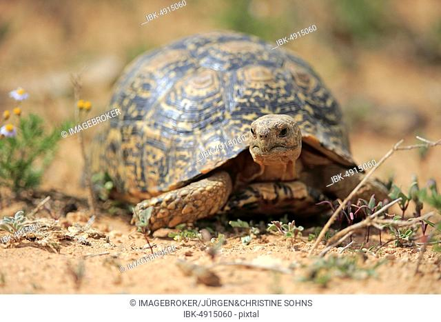 Leopard Tortoise T Pardalis Stock Photos And Images Age