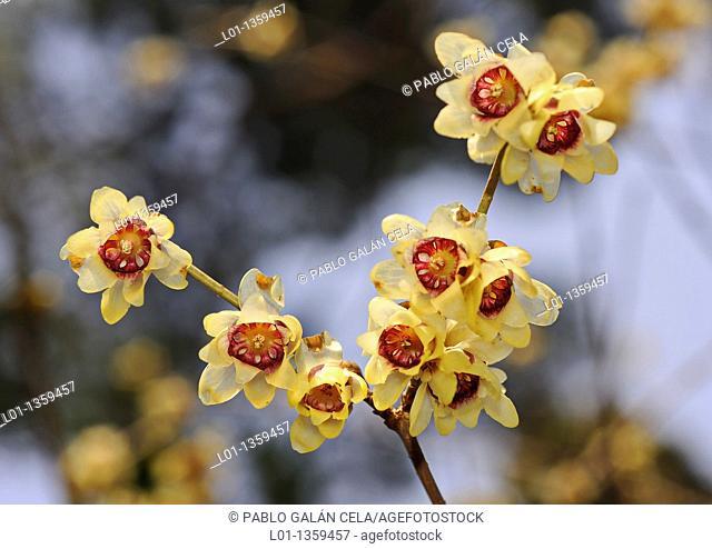 Japanese allspice (Calycanthus praecox)