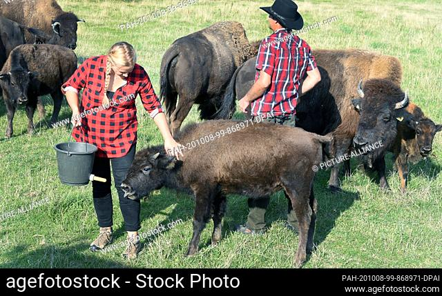 """01 October 2020, Saxony, Wermsdorf: In her bison enclosure, Cora Lechner gives the hand-raised calf """"""""Hannes"""""""" the bucket bottle of organic calf potion"""