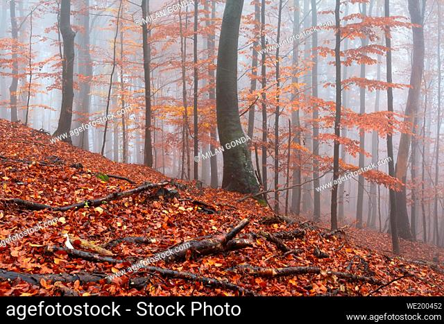 Beech forest in Mala Fatra national park on a foggy day, Slovakia