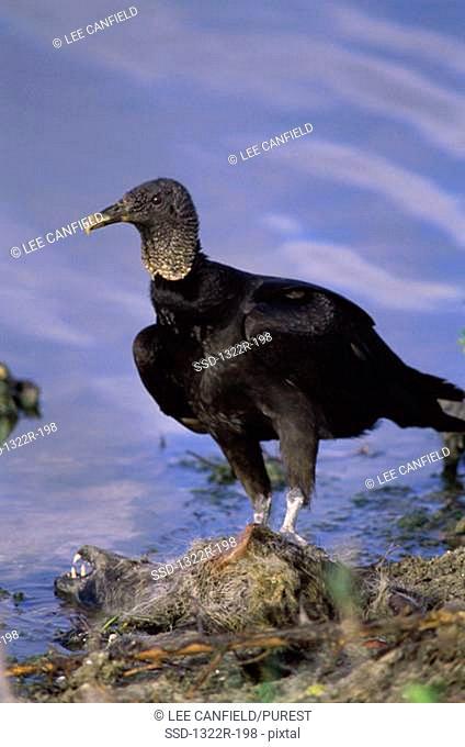 Close-up of a Black Vulture, Florida, USA