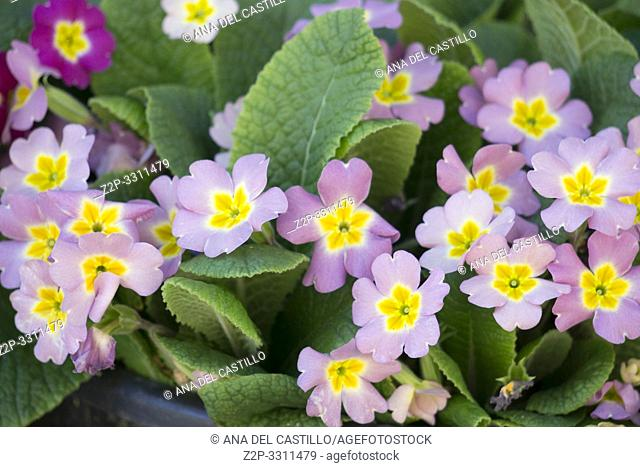 Primroses in pink and yellow Spain