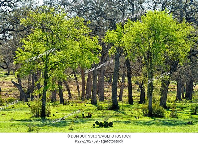 Pecan trees in an oak parkland setting with prickly pear cactus, Krause Springs, Spiceville, Texas, USA