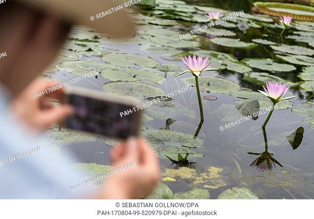 A woman takes a picture with her phone of two purple coloured water lillies (Nymphaea) in the water lilly pond of the zoological and botanical garden of the...