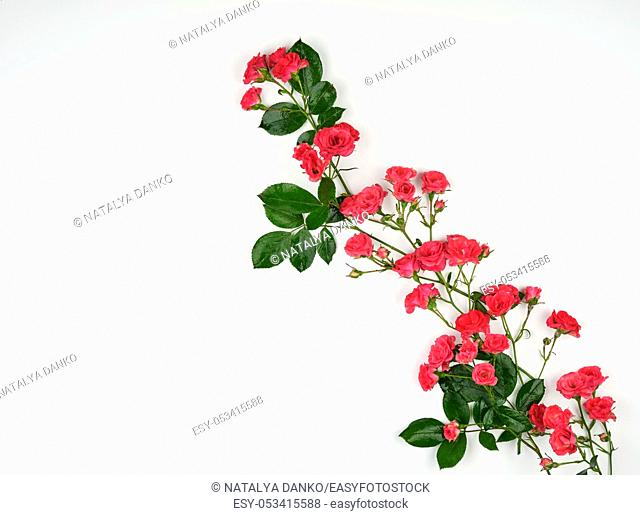 blooming buds of pink roses and green leaves on a white background, top view, copy space, flat lay