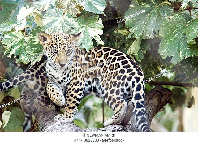 Jaguar, Panthera onca, young animal, boy, young, big cat