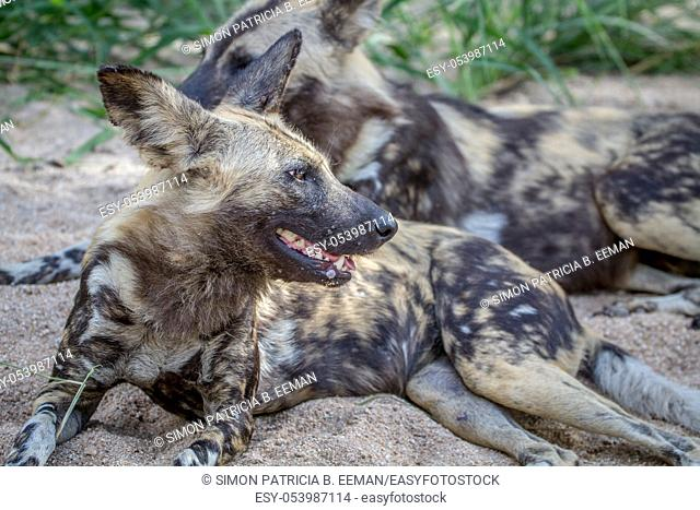 African wild dog laying in the sand in the Kruger National Park, South Africa