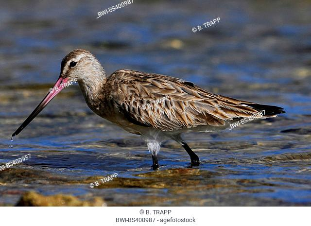 bar-tailed godwit (Limosa lapponica), on the feed, New Caledonia, Ile des Pins