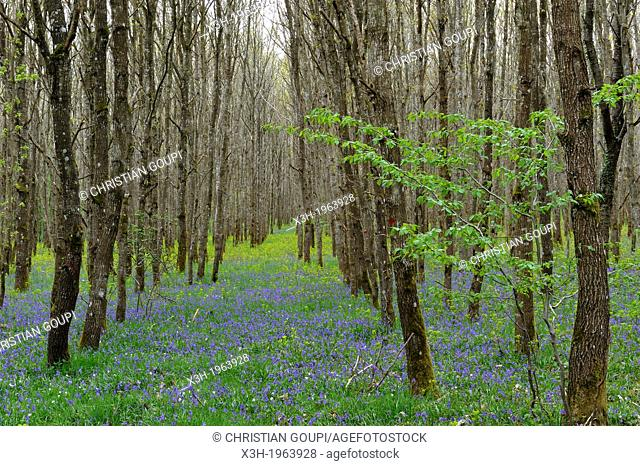 parterre de jacinthes des bois et euphorbes en sous-bluebell and euphorbia wood, oakery in the forest of Rambouillet, Yvelines department, Ile de France region