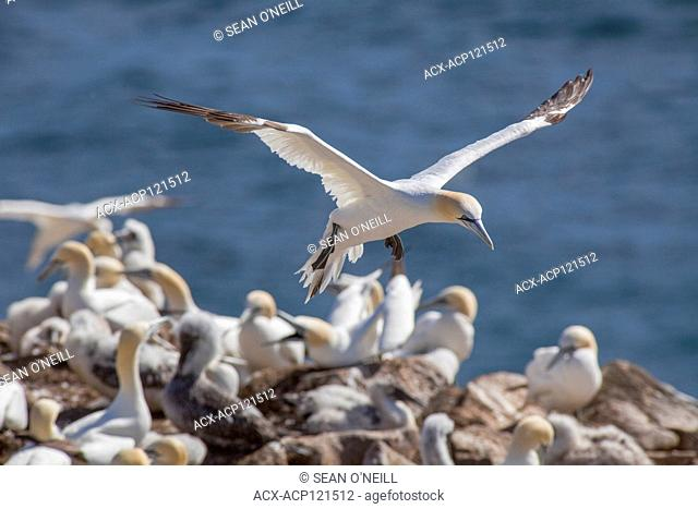 Northern Gannet flying, landing, Morus bassanus, Cape St. Mary's ecological reserve, Newfoundland, Canada, breeding colony