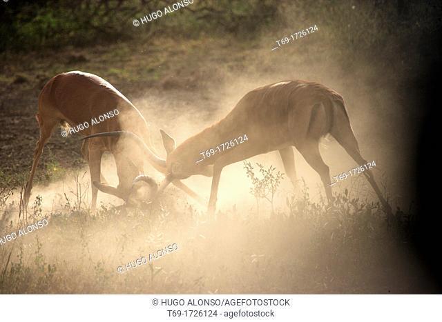 Two Impala fighting. Aepyceros melampus
