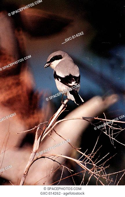 12/13/1999 -- A loggerhead shrike perches on a branch in the Merritt Island National Wildlife Refuge, which shares a boundary with Kennedy Space Center