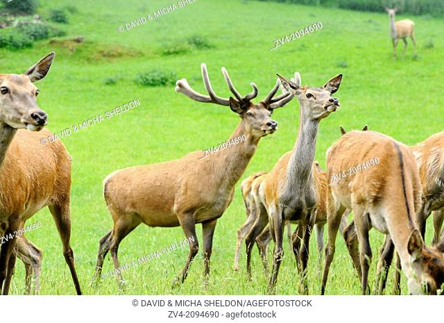 A group of red deer (Cervus elaphus) on a meadow