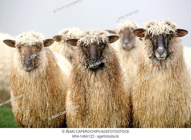 Latxa Sheep in the Massif of Izarraitz, Guipuzcoa, Gipuzkoa, Euskadi, Basque Country, Spain