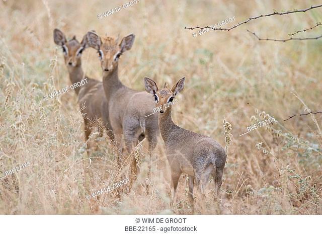 Three Kirk's dikdiks (Madoqua kirkii) in dry grass land