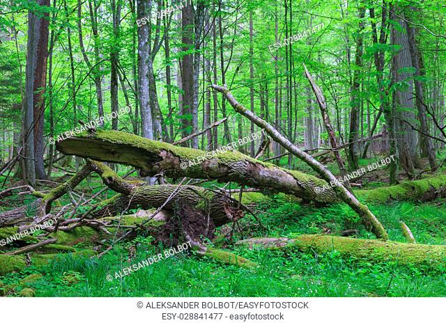 Old oak tree broken lying and old natural deciduous stand, Bialowieza Forest, Poland, Europe