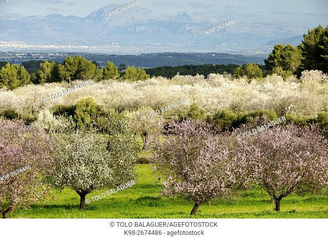 Almendros en flor. Albenya. Randa. Majorca, Balearic Islands, Spain