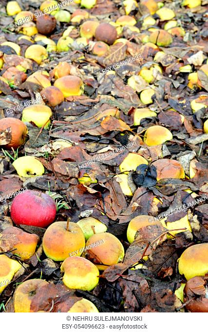 rotten fallen apples in an orchard, image