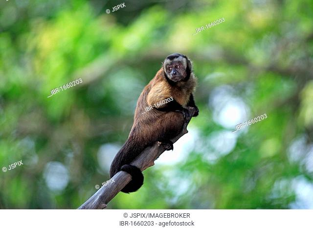 Weeper Capuchin (Cebus olivaceus), adult in a tree, South America