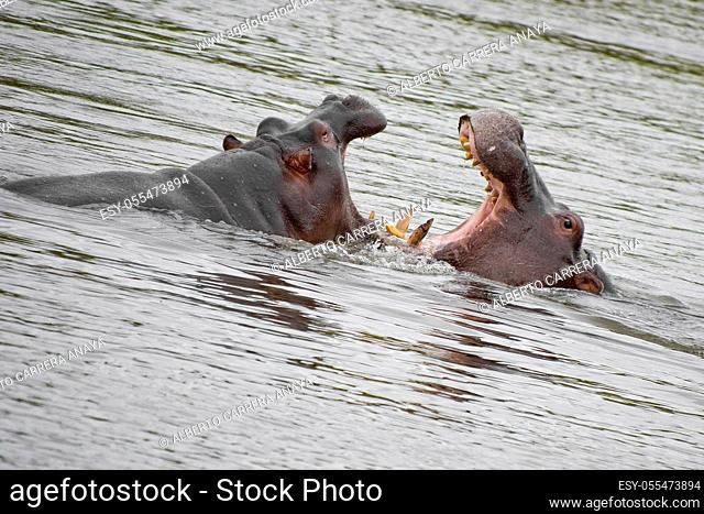 Hippo, Hippopotamus, Hippopotamus amphibius, Kruger National Park, Mpumalanga, South Africa, Africa