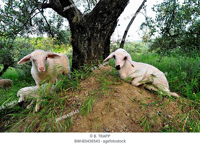 domestic sheep (Ovis ammon f. aries), lambs under a olive tree, Greece, Olymp
