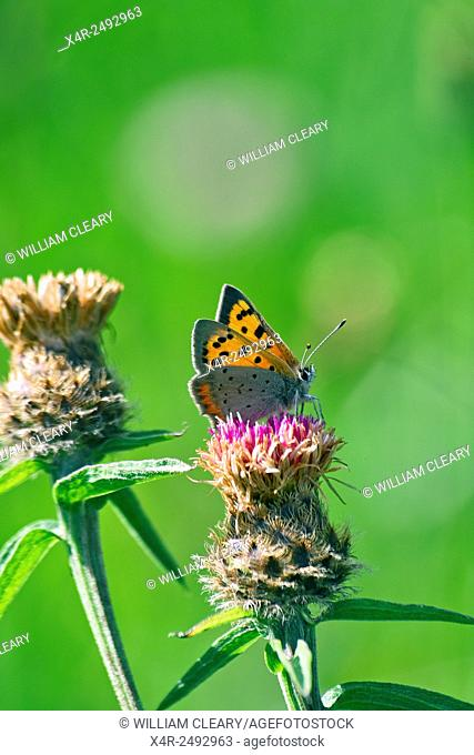 Small Copper butterfly Lycaena phlaeas resting on a Black Knapweed, also known as Knobweed plant Centaura nigra in a meadow field, County Westmeath, Ireland