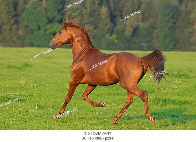Lusitano horse - trotting on meadow
